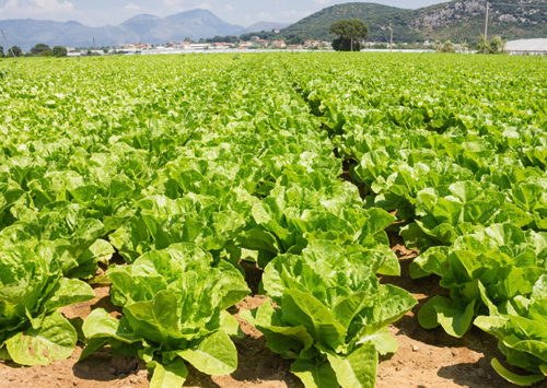200 people were sickened in the E. coli outbreak, traced to lettuce grown in Yuma, AZ