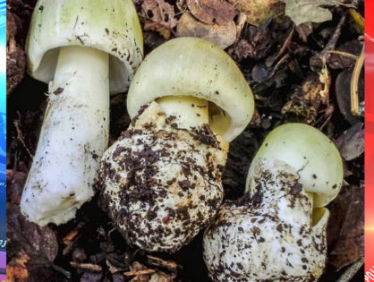 One of the Deadliest Mushrooms on Earth Are Growing In The Bay Area: They Will Kill People and Pets